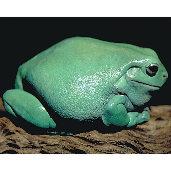We're getting a Dumpy Tree Frog this weekend!