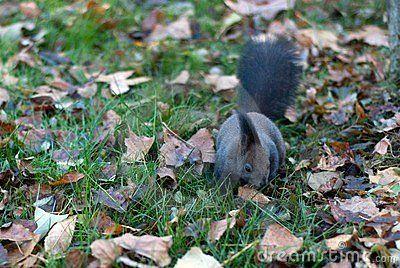 Squirrel forging through fallen leaves