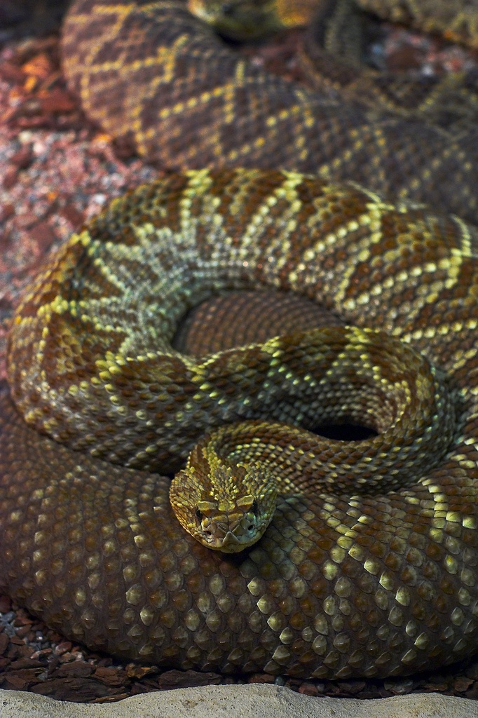 Tropical rattlesnake-one of the most beautiful