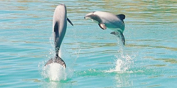 Swimming with dolphins in Akaroa tops ultimate NZ bucket list top 10 attractions