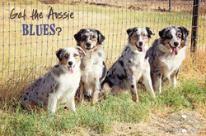 Blue Merle Aussie, Blue Merle Australian Shepherd, Blue Merle Puppy Mott Ranch is located in Arizona www.ranchmott.com
