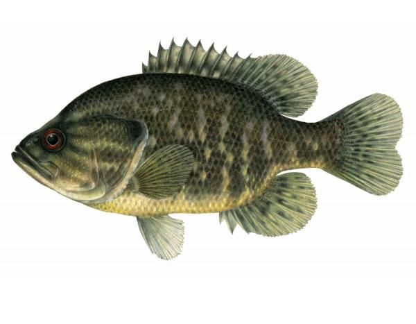 46 best fish found in ohio images on pinterest fishing for Georgia freshwater fish