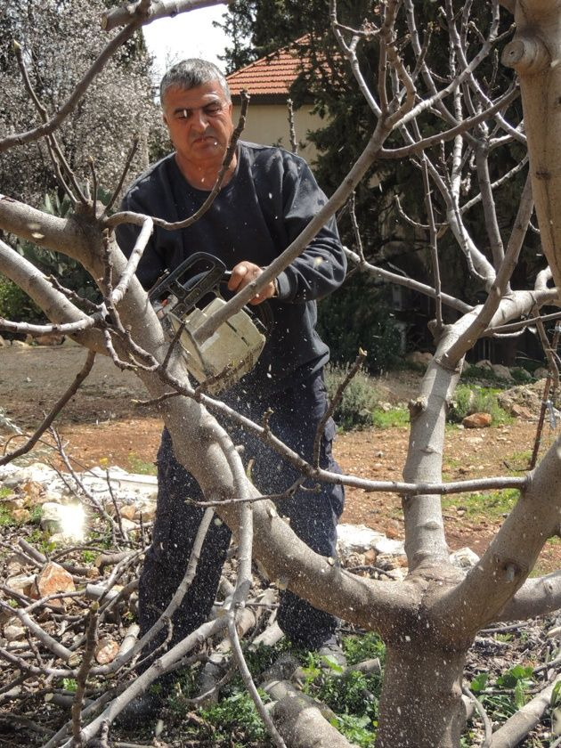 How To Prune Fruit Trees To Keep Them Small Prune Fruit Fruit Trees Pruning Fruit Trees