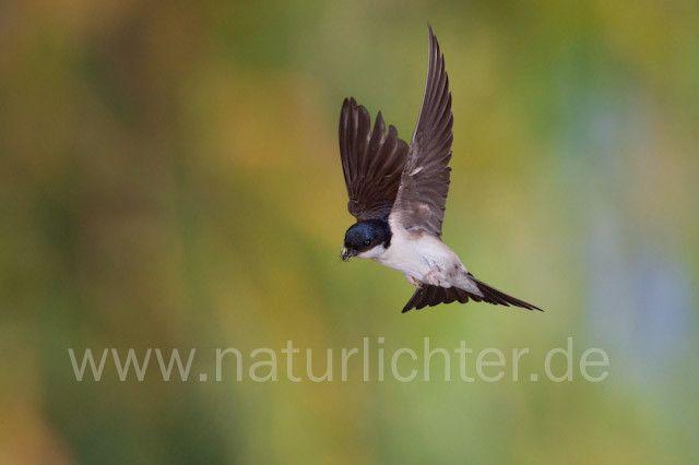 R7833 Mehlschwalbe im Flug, House Martin flying