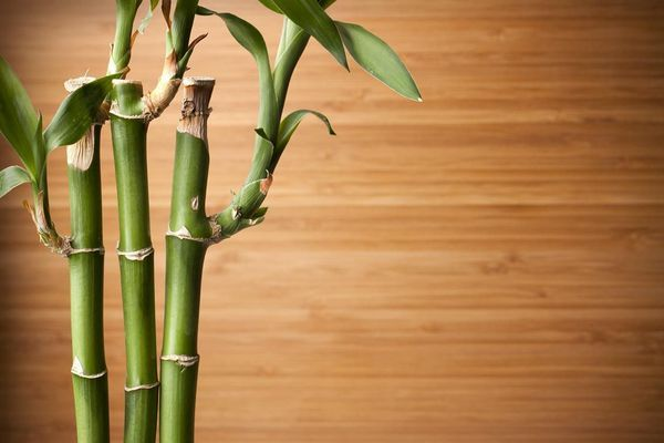 Live bamboo plant and bamboo board background