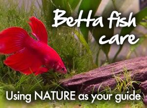 Free one page betta fish guide! This one page betta fish care sheet is packed with easy to digest information on all aspects of betta fish care. From tank size to diet to filters and more