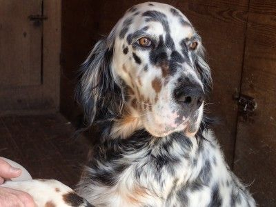 What is a Ryman-Type Setter- Hunting English Setters