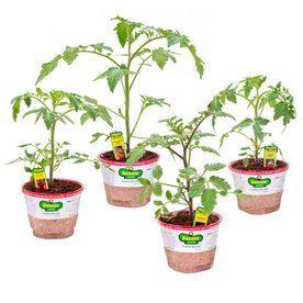 Bonnie 25-Oz Better Boy Tomato; Big Boy Tomato; Early Girl Tomato; Gol
