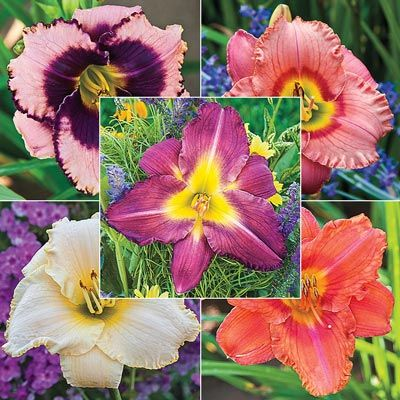 Daylight Savings Reblooming Daylily Collection
