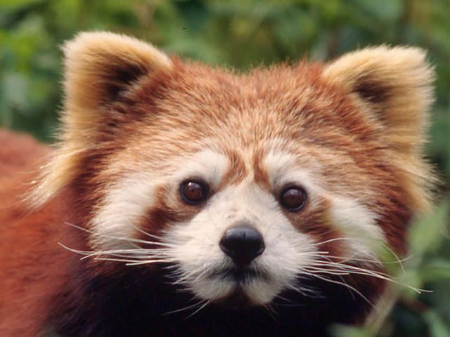 Red pandas are very skillful and acrobatic animals that predominantly stay in trees.
