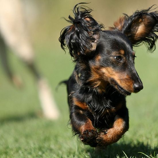{flying long haired doxie!} so adorable! | http://sweetbabydogs810.blogspot.com