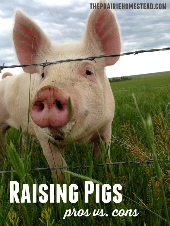 We've loved having pigs on our homestead, but this post about the pros and cons of raising pigs is right on!