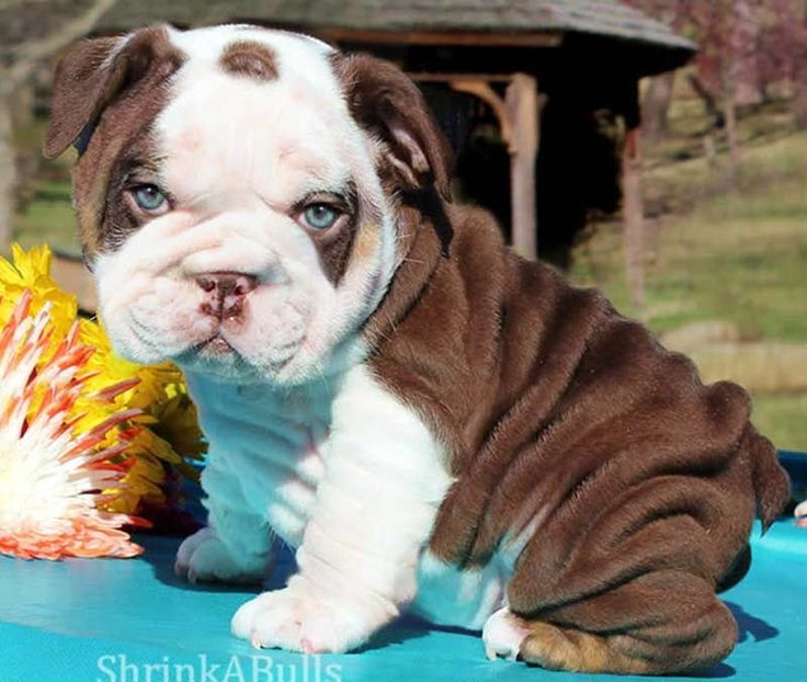 Que lindo esse cachorronho  bebêzinho bulldog inglês