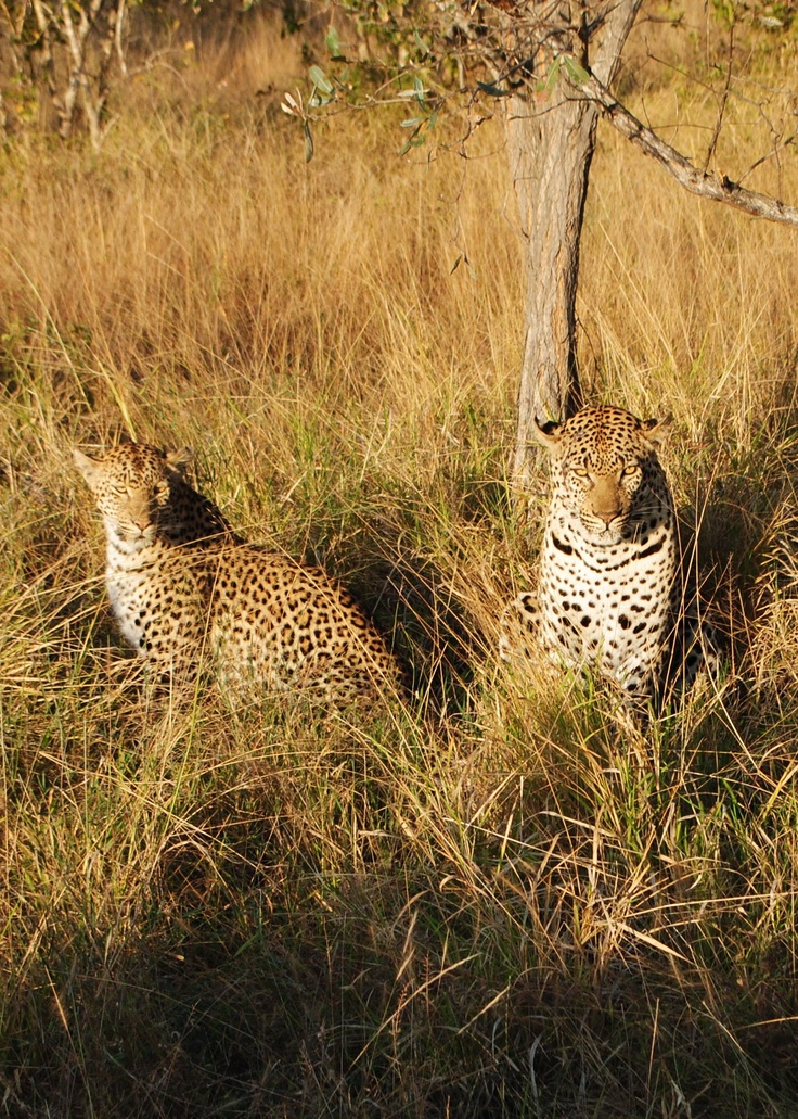 Something quite rare to see on a Safari, a pair of mating Leopards.