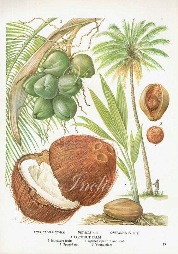 coconut fruit chart food botanical kitchen illustration oil palm tree diagram oil palm tree diagram oil palm tree diagram oil palm tree diagram