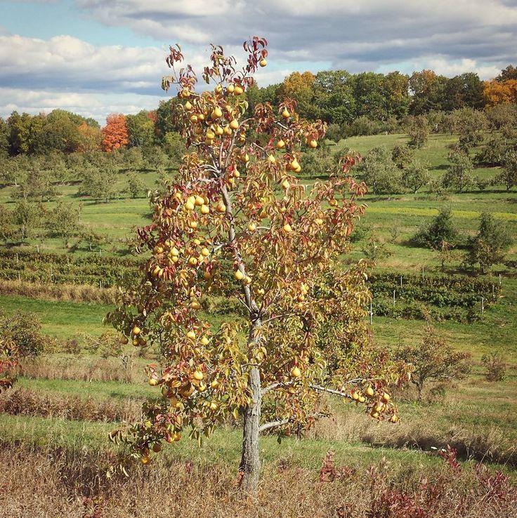 Autumn Hills Orchard, Groton, MA by alltheclocks Autumn