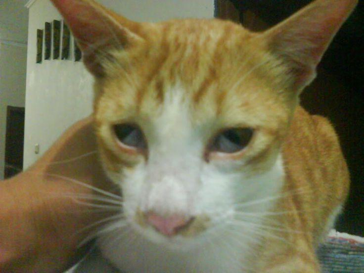 Cara Mengobati Kucing Sakit Mata atau Berair - http://kucingraas.co.id/cara-mengobati-kucing-sakit-mata-atau-berair/