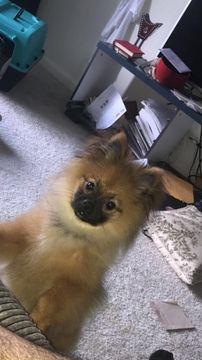 Pomeranian puppy for sale in ARLINGTON, VA. ADN-43645 on PuppyFinder.com Gender: Male. Age: 5 Months Old