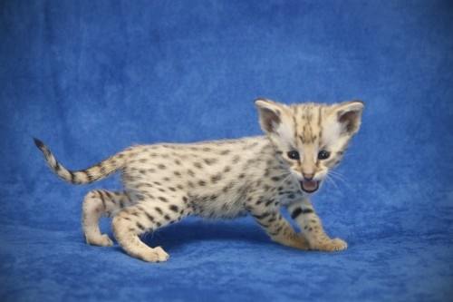 Savannah kitten. Getting one of these someday.