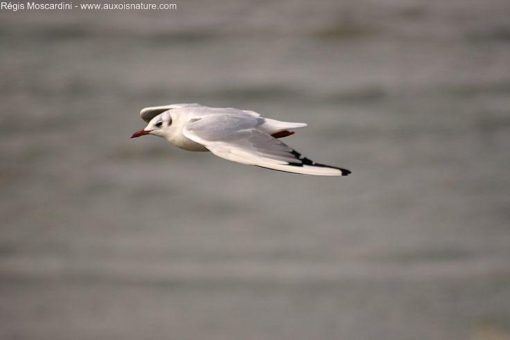 La photographie d'oiseaux en vol donne de très belles images, mais elle est difficile ! Pour découvrir les astuces qui font la différence, cliquez ici !