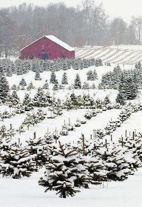 Old Christmas Tree Farm...