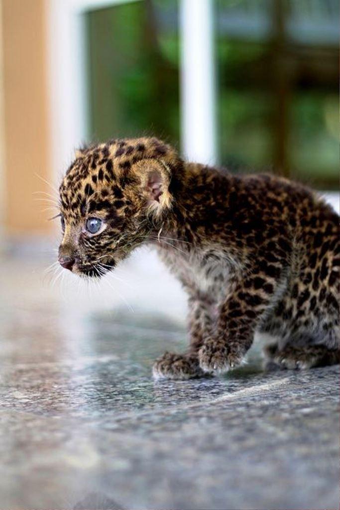 Bebek Leopar