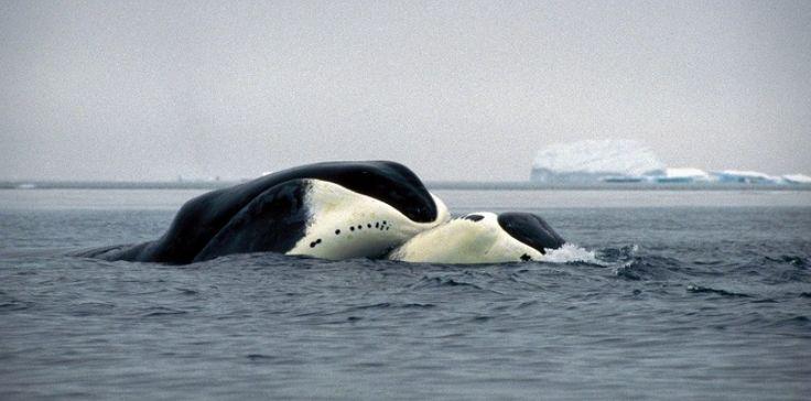 Des chercheurs viennent de décrypter le génome de la baleine boréale, levant le voile sur la longévité exceptionnelle de ce mammifère. Il est en effet capable de vivre deux siècles.