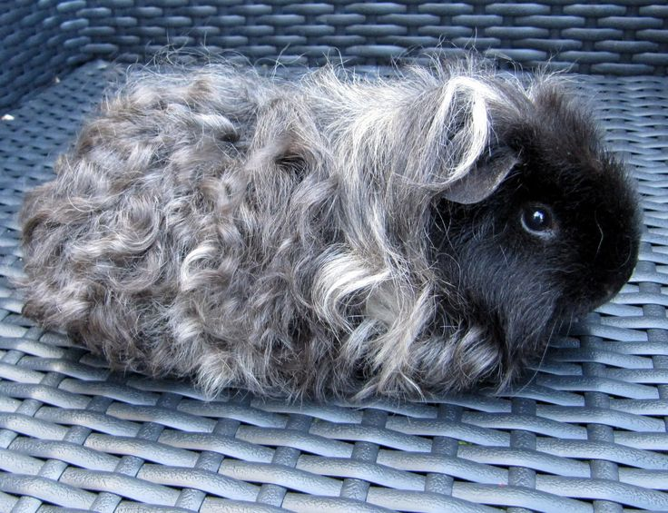 curly long haired guinea pig | All Things Guinea Pig: Breeds and Varieties