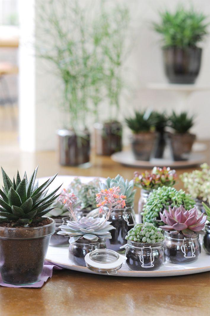 succulentes dans petits pots deco