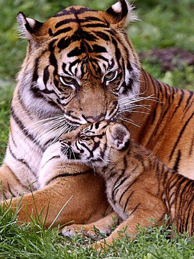 Bengal tiger and cub. Bengal Tiger animal art portraits, photographs, information and just plain fun. Also see how artist Kline draws his animal art from only words at drawDOGS.com