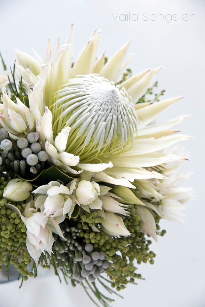 The white King protea. Absolutely beautiful and just as rare, the white king is totally fabulous no matter what you decide to do with it.
