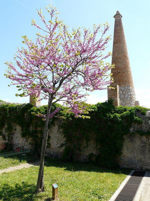 6 arbres qui sont vraiment adaptés pour un petit jardin Arbre de judée Cercis siliquastrum (sur tige)