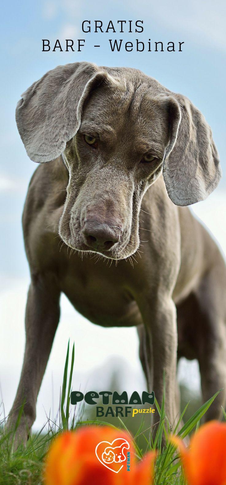 BARF-Webinar am 08.Oktober! Das Webinar bringt euch die Grundlagen der BARF Ernährung näher! Immer wieder liest und hört man das #BARF schwierig, kompliziert und gefährlich wäre. Wie man es richtig macht erklären wir euch mit unseren kostenlosen Webinaren. - Ihr wollt euren Hund noch gesünder ernähren? - Alle anderen BARFen ihre Hunde, ihr wisst aber nicht, wie man's richtig macht? - Euer Tierarzt hat euch die Umstellung auf Rohfütterung empfohlen?…