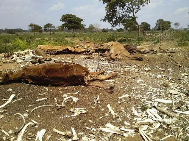 #Zulia ¡Qué dolor! Tres mil reses han muerto como consecuencia de la sequía (FOTOS) http://sunoticiero.com/index.php/nacionales-not/55165-zulia-que-dolor-tres-mil-reses-han-muerto-como-consecuencia-de-la-sequia-fotos… pic.twitter.com/V7sduAekUs