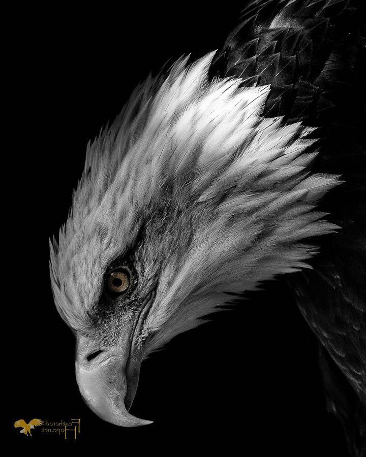 𝑺𝒆𝒅𝒂𝒕 𝑺𝒂𝒗𝒂s Eagle Pictures Eagle Drawing Eagle Wallpaper