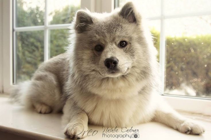 Full Grown ACTUAL Pomsky from UK Pomskies #Pomsky