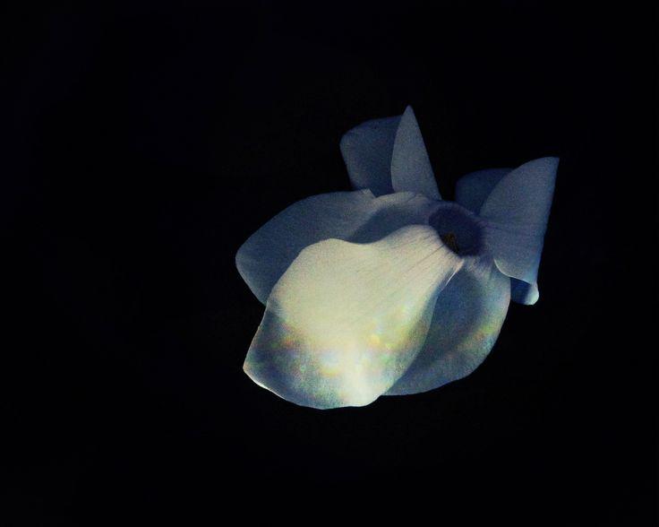 flor del ciclamen, cyclamen flower