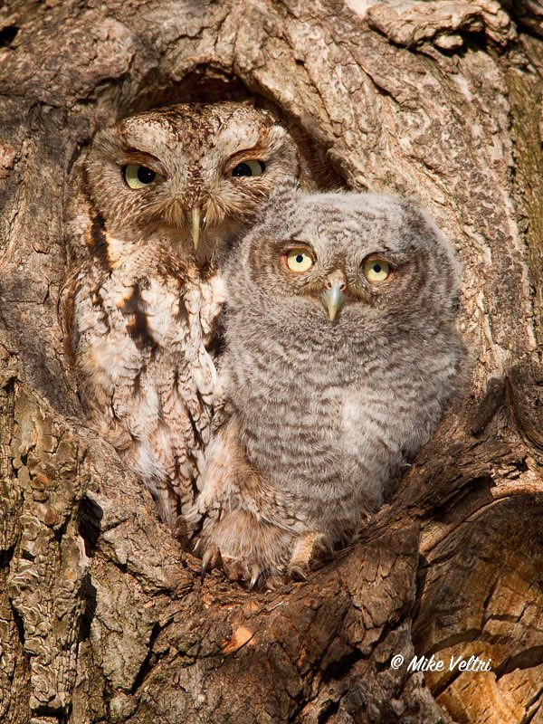 Camouflaged Eastern Screech Owl and Owlet by Mike Veltri