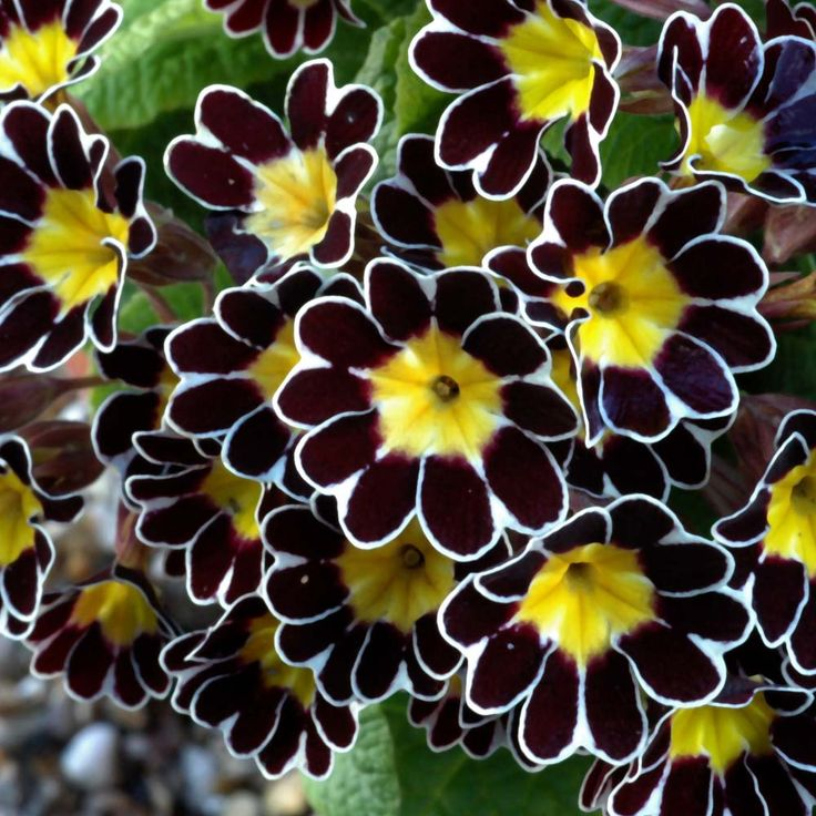 Polyanthus 'Gold Laced'. I had these growing in my garden for several years, sadly they didn't return this year...