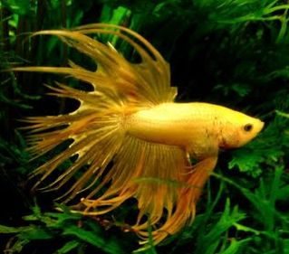 bettysplendens.com | My betta is a rosetail and i think he has rare colouring but im not ...