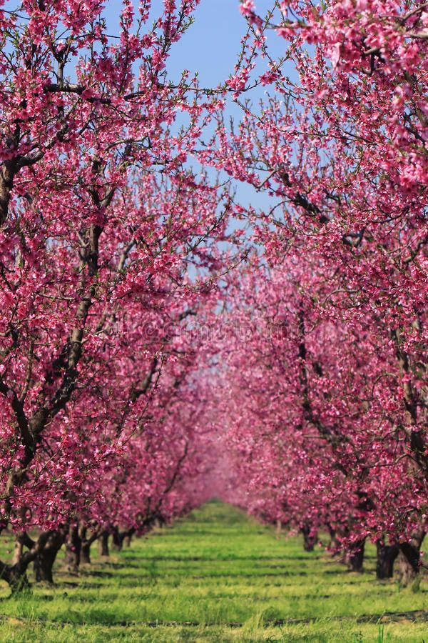 Cherry Orchard In Spring Cherry Blossoms In Full Bloom In A Cherry Orchard Fad Ad Blossoms Full Spring Cherry Orchard Orchard Cherry Blossom Tree