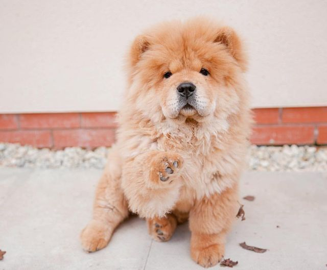 Cinnamon Chow Chow Chow Chow Chow Dogs Dogs Cute Baby Puppies