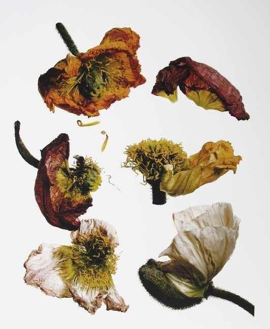 Irving Penn - Iceland Poppy/Papaver nudicaule (F), New York, 2006