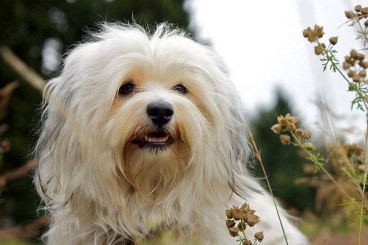 Dekoratív fajtájú kutyák: egy nagy lista a háziállatok és azok jellemzői (+ fotók)  Bichon Havanaise