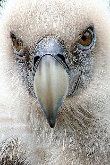 vulture >> not the image people usually have of a vulture, but this is beautiful!