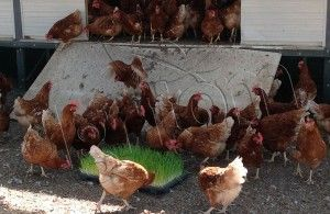 tavuklarda-taze-ot-makinasi-4
