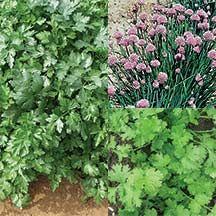 Garnish & Seasoning Seed Disk Assortment includes 1 disk each of Chives, Dark Green Italian Parsley and Calypso Cilantro | totallytomato.com
