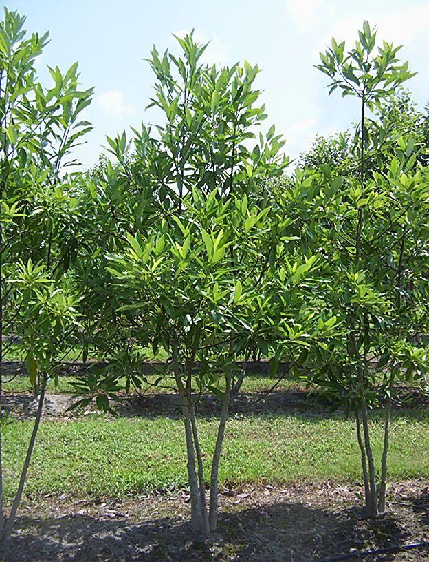Magnolia virginiana, (sweetbay magnolia) Small deciduous tree; fragrant miniature magnolia flowers; sun-shade; tolerates wet sites.