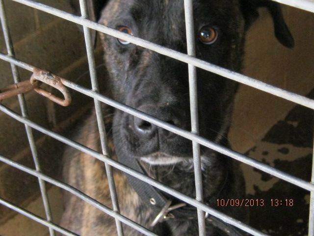 Gallery of council pounds and their impounded animals - Rescue Rex IMP 795 Mastiff x Male, Date of release 13/9  VERY URGENT TO RESCUE SAVE THIS lovely dog
