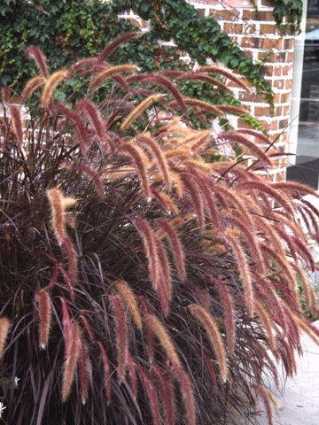 Fountain Grass (Pennisetum), 2-6 ft., 'Rubrum' - attractive mahogany blades and rose red nodding inflorescence, summer bloom. Use in containers, borders, bank covers.